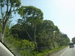 ガジュマル並木?